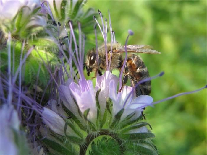 Фацелиевый мед корисні і лікувальні властивості цінність фото