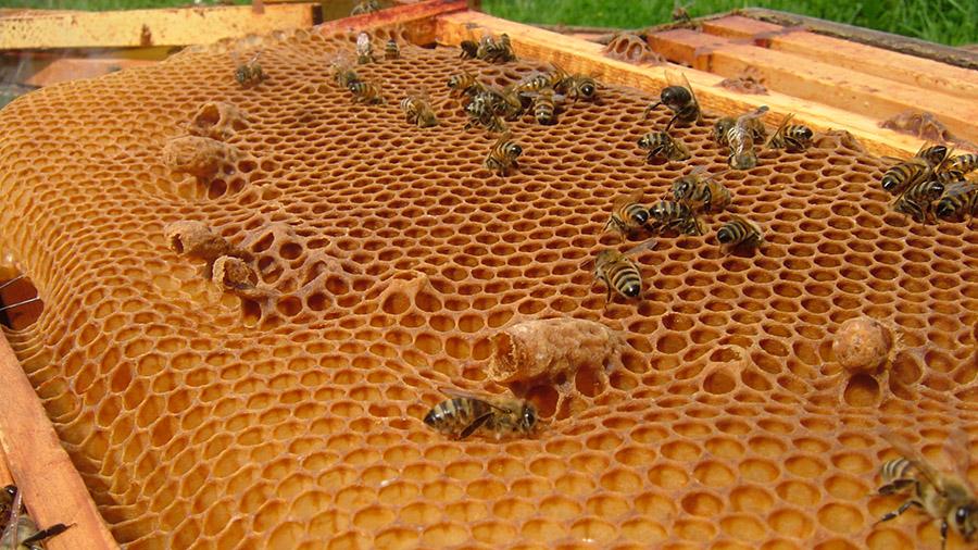 Їмо стільники з медом і воском