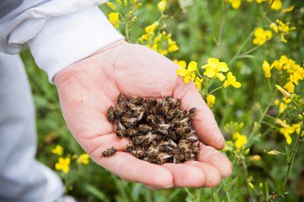 p dmor bdzholiniy l kuval n vlastivost dlya zh nok yak priymati dlya suglob v 1 - Підмор бджолиний: лікувальні властивості для жінок, як приймати для суглобів?