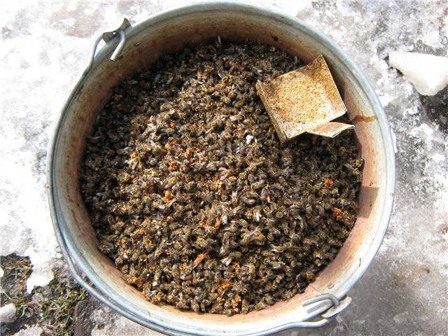 Підмор бджолиний: лікувальні властивості для жінок, як приймати для суглобів?