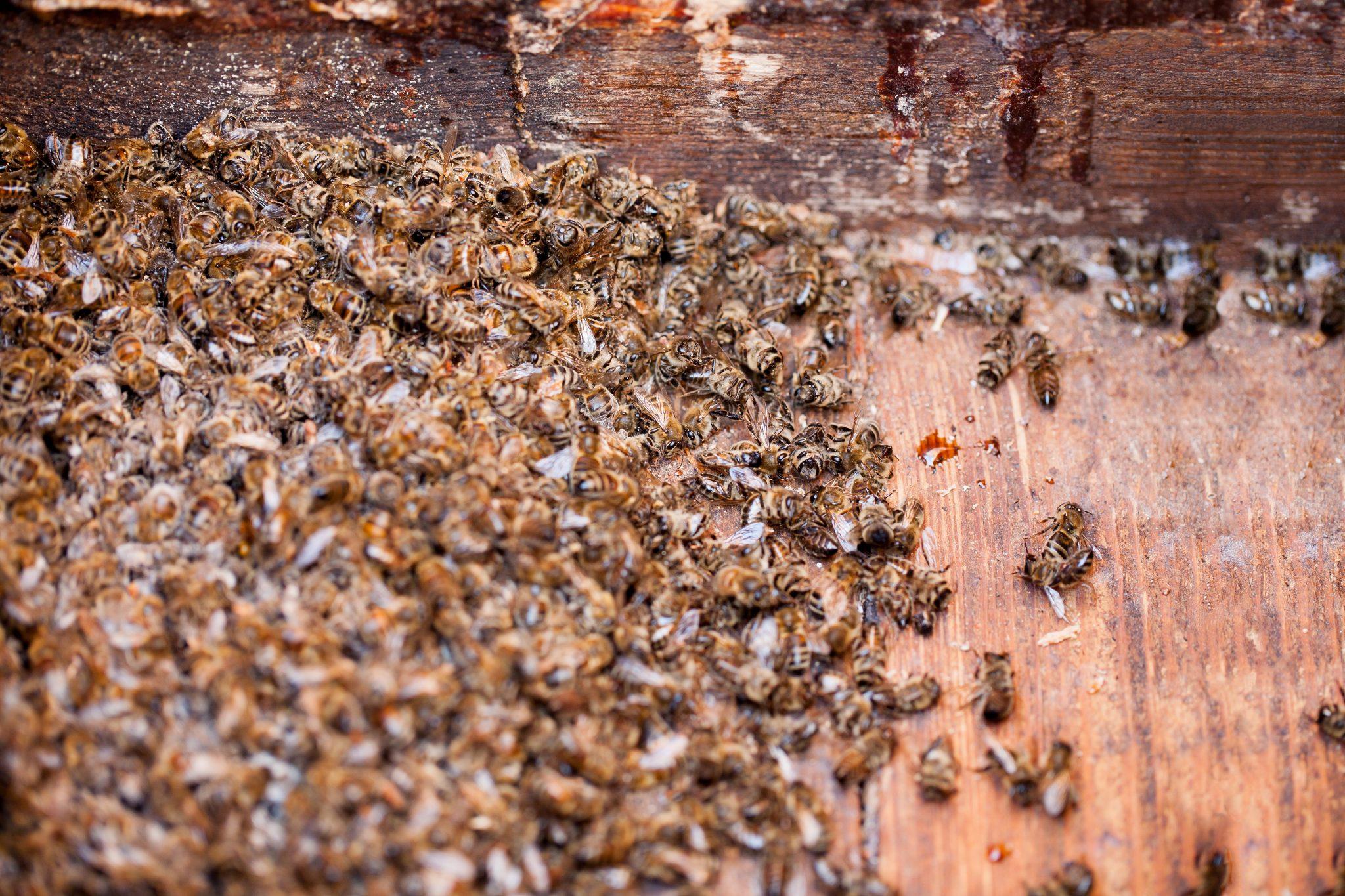 p dmor bdzholiniy sklad korisn vlastivost zb r zastosuvannya 1 - Підмор бджолиний: склад, корисні властивості, збір, застосування