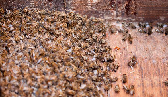 Підмор бджолиний: склад, корисні властивості, збір, застосування