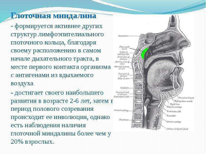 Піднебінні мигдалини: класифікація та терапія