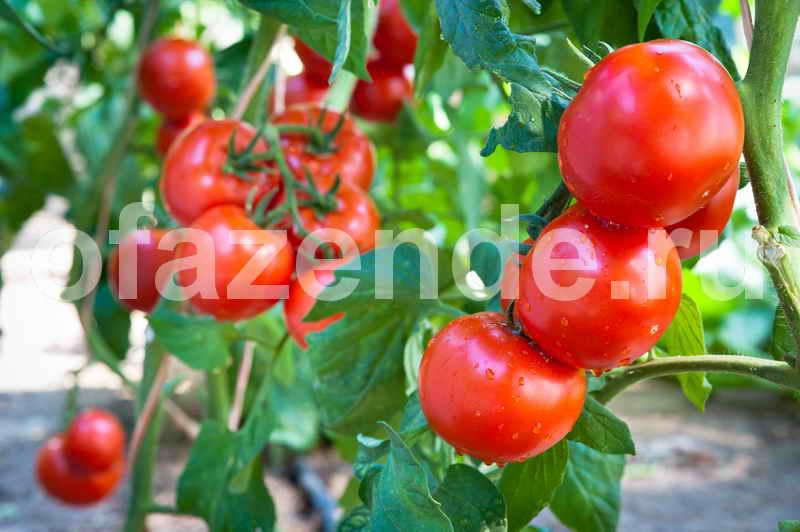 Підживлення томатів після висадки в грунт народними засобами. Чим підживити помідори після висадки в грунт: варіанти