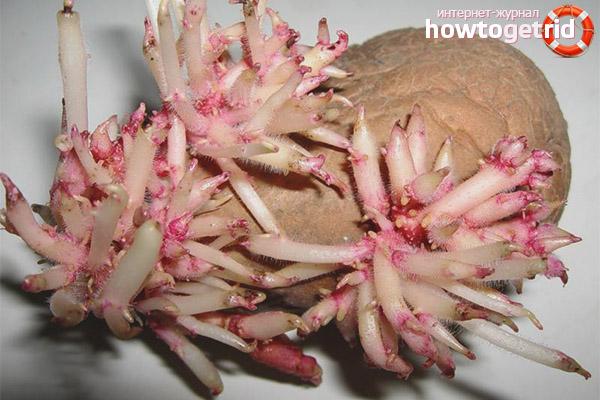 Паростки картоплі лікувальні властивості рецепти