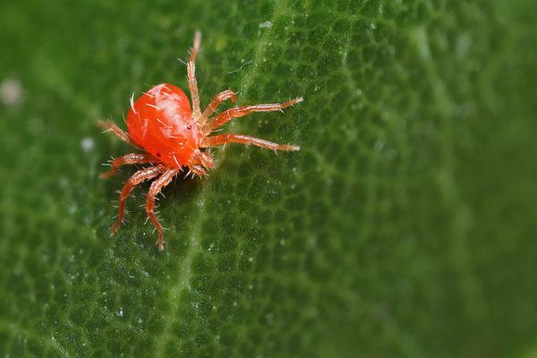 Павутинний кліщ на кімнатних рослинах як боротися народними засобами