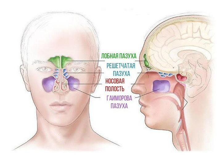 Пазухи носа: будова і функції