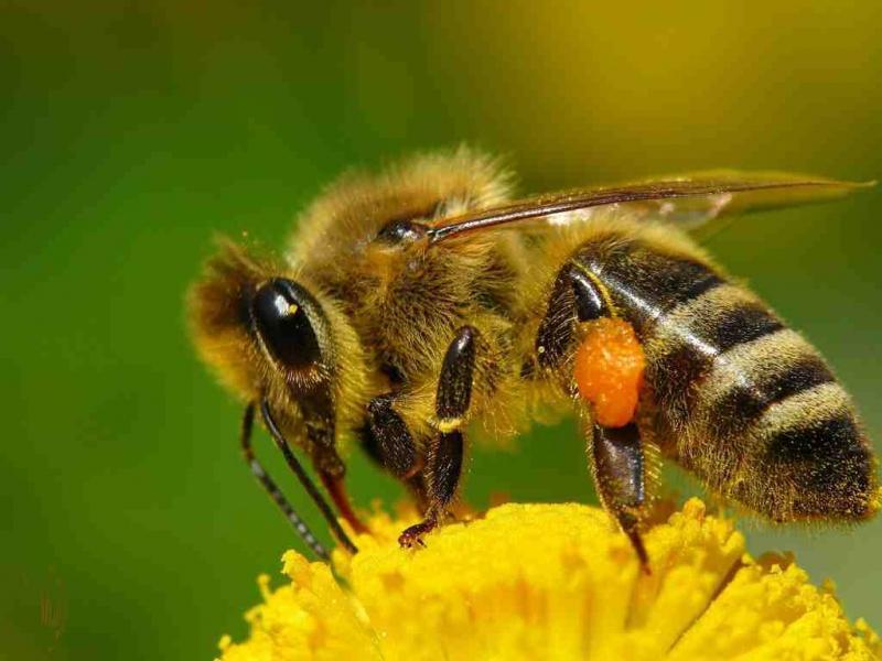 Перга бджолина корисні властивості і як приймати Чим корисна перга