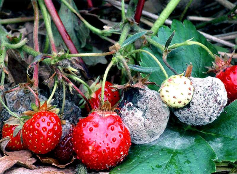 ryatu mo vrozhay polunic v d gnil yodom perekisom vodnyu 1 - Рятуємо врожай полуниці від гнилі йодом і перекисом водню