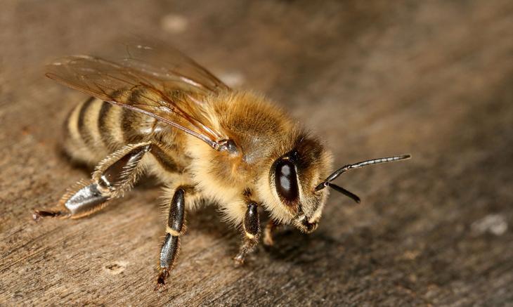 Що таке бджолине маточне молочко і якими цілющими властивостями воно володіє