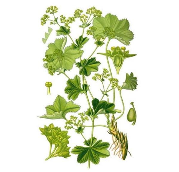 Трава манжетка – лікувальні властивості і протипоказання