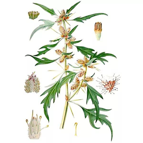 Трава Нетреба лікувальні властивості і протипоказання