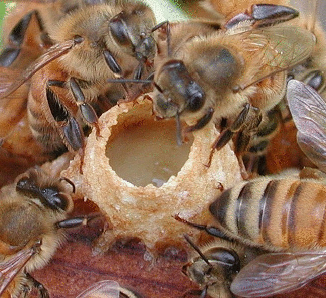 Унікальність бджолиного маточного молочка та його лікувальні властивості