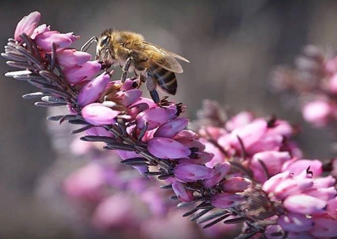 Верес медонос – медопродуктивність, корисні властивості меду