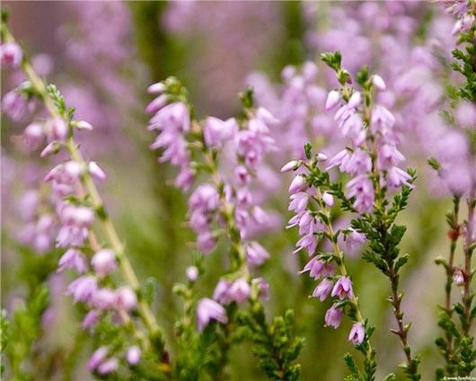Верес звичайний — лікувальні властивості, застосування і рецепти