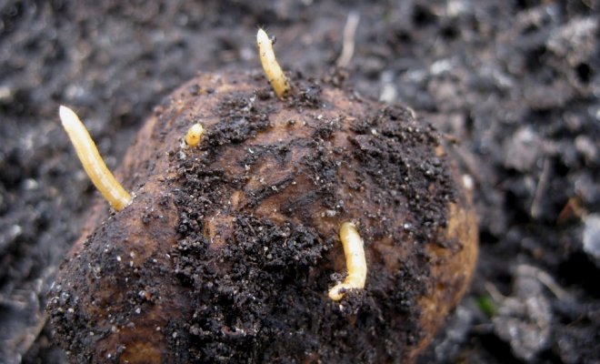 Як позбутися від дротяників у городі назавжди народними засобами