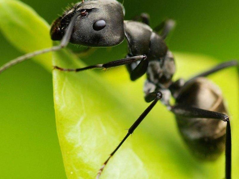 Як позбутися від мурашок у теплиці назавжди