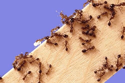yak pozbutisya v d murashok v dom nazavzhdi narodn zasobi preparati 1 - Як позбутися від мурашок в домі назавжди: народні засоби і препарати