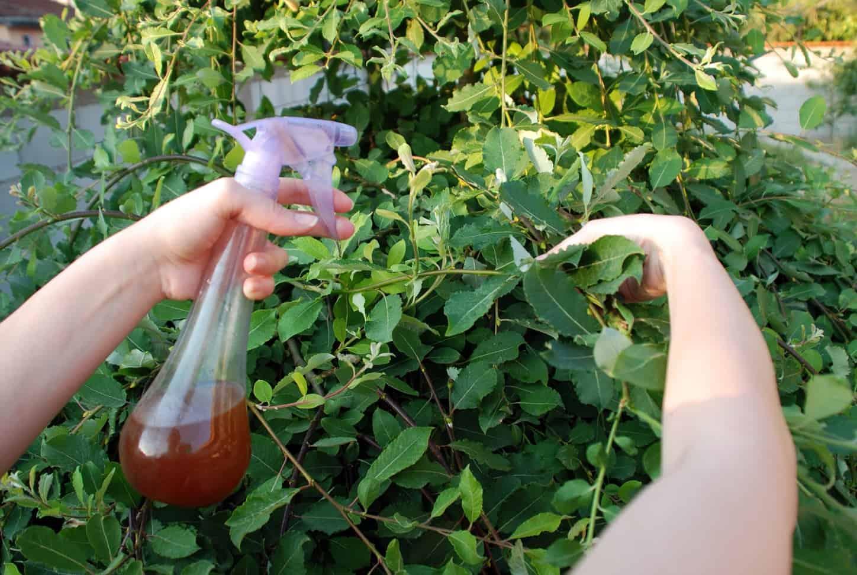 Як позбутися від попелиці на яблуні народними засобами