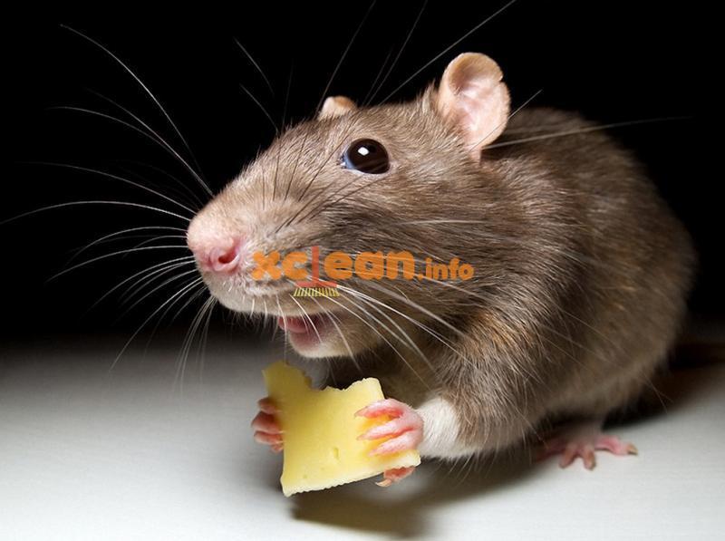 Як позбутися від щурів самостійно