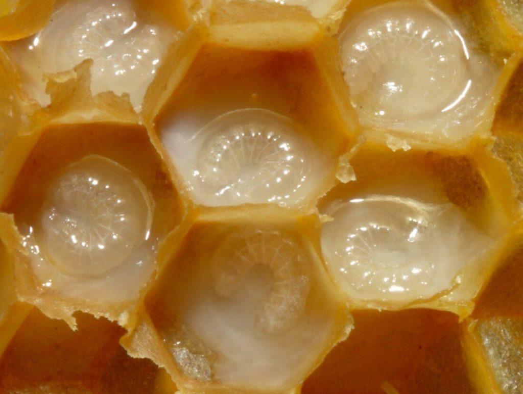yak priymati matochne molochko matochne molochko bdzholine 1 - Як приймати маточне молочко Маточне молочко бджолине