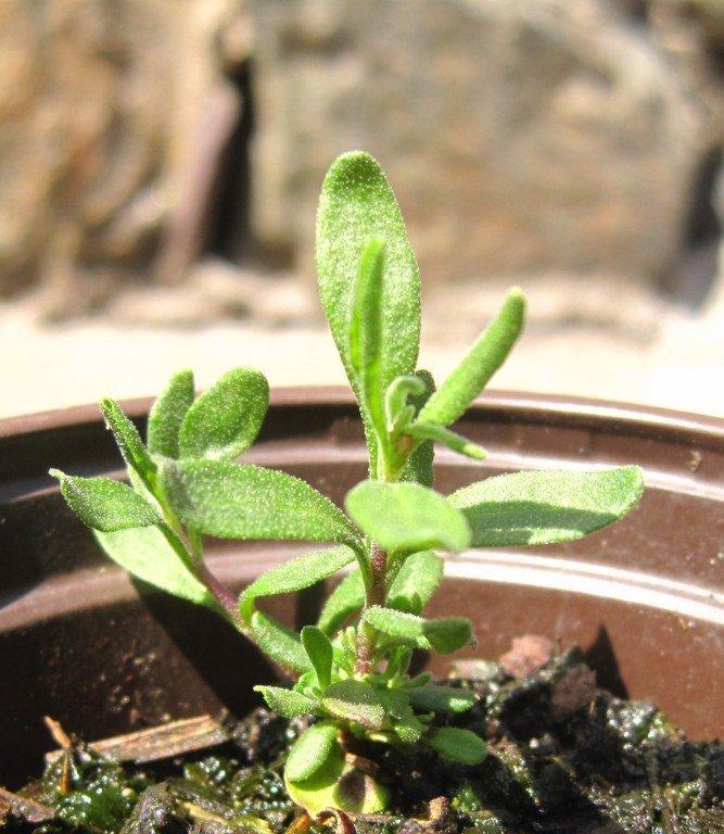 Як виростити лаванду в домашніх умовах з насіння