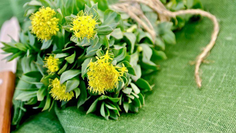 Золотий корінь – лікувальні властивості і протипоказання